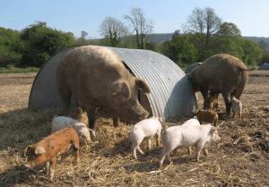 Pigs on Scott Free Range
