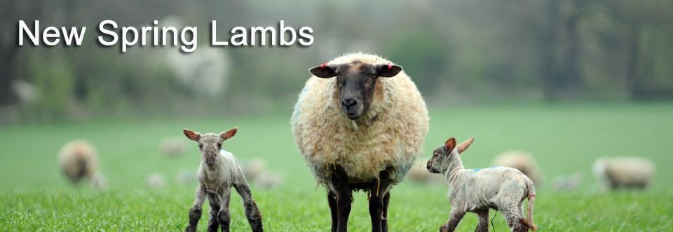 New Season Lambs