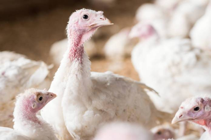 Cargill expands traceability turkey programme for Thanksgiving