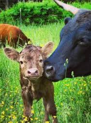 Mother cow nuzzling her baby