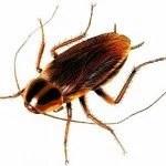 german-cockroach