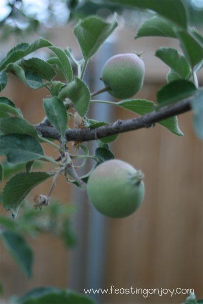 Apples in our garden