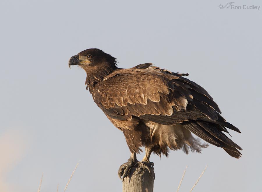 bald eagle 6590 ron dudley