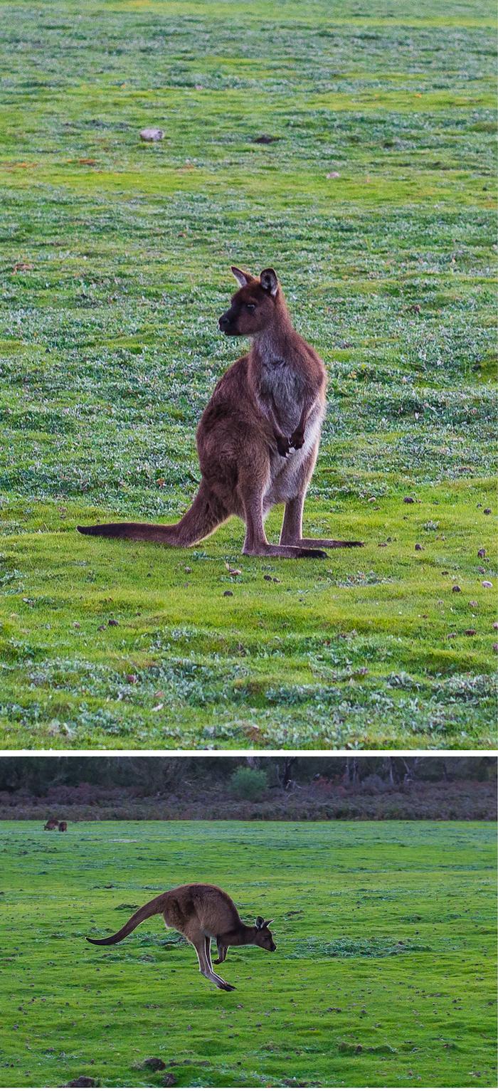 Southern Ocean Lodge Kangaroos 2
