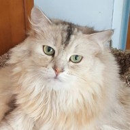 Addi - Siberian Cat