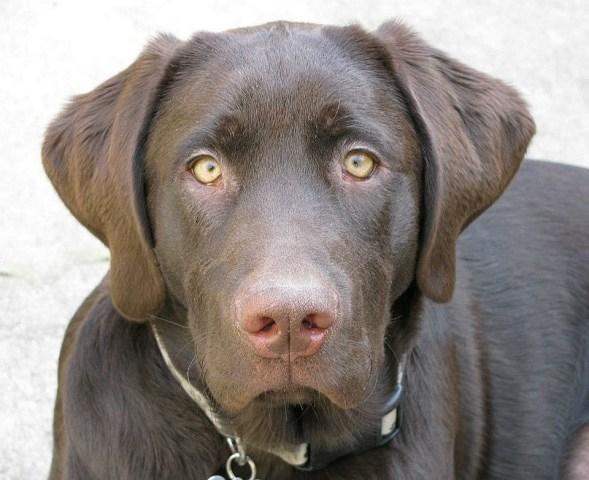 Labrador Retriever – Cooper