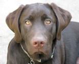 Labrador Retriever - Cooper