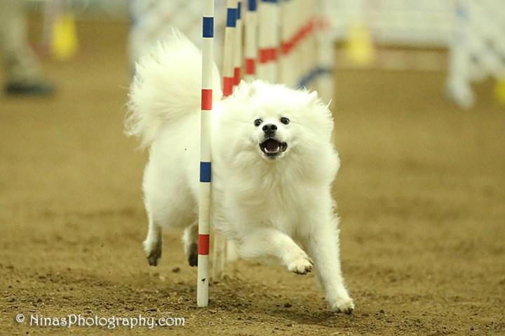 American Eskimo Dog – Indie