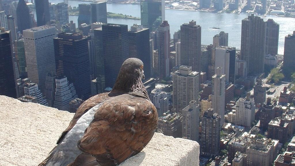 Pigeon vigila el seo local