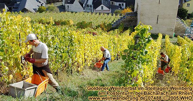 Goldener Weinherbst im Weinberg am Postenturm bei Bacharach am Rhein