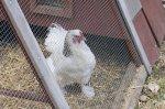 The white chicken