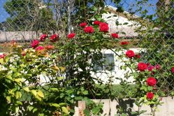 Many roses on  one branch