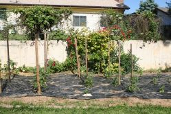 Garden with many roses