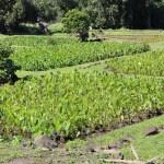 Taro root fields