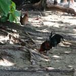 More wild chickens