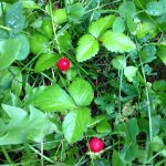 Wild strawberries. Kind of bland from all the rain, but still beautiful.