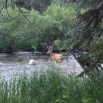 Deer in the big thompson river behind our cabin