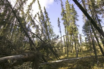 Fallen trees after the permafrost melted in Fairbanks Alaska 2004