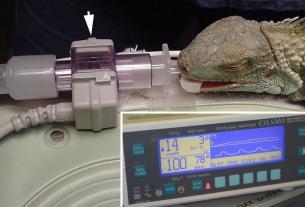 Reptiles surgery, mumbai lizard surgery, monitor lizard surgery, monitor lizard, mumbai News