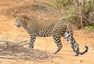 Leopard, Teenager, headphones, Nanital district, Ramnagar, Forest officials, Traps