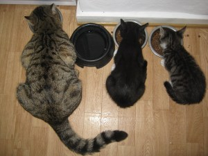 Feed your cats healthy pet food