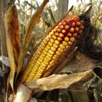Mycotoxins may be found in corn