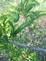 orchard,community orchard,grow fruit