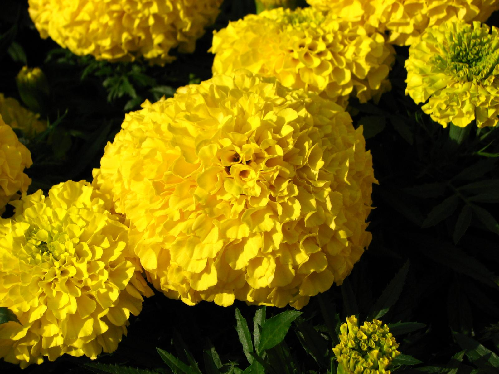 Mexican marigold  Tagetes erecta   flowers   Feedipedia Mexican marigold  Tagetes erecta   flowers