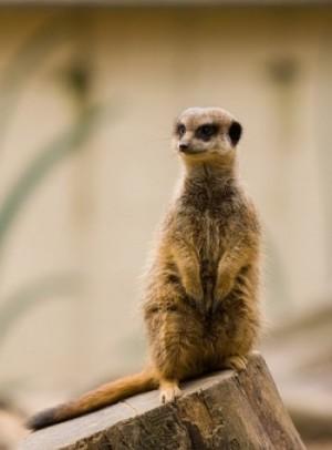 meerkat-164903_640