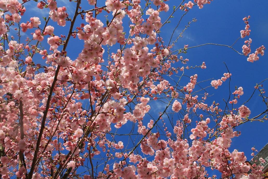 Um passeio revigorante às Amendoeiras em Flor