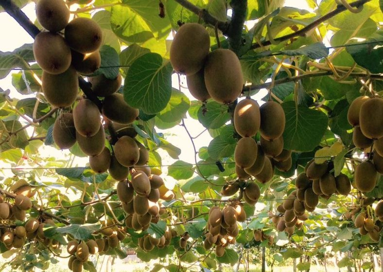 Plantação de Kiwi Amarelo