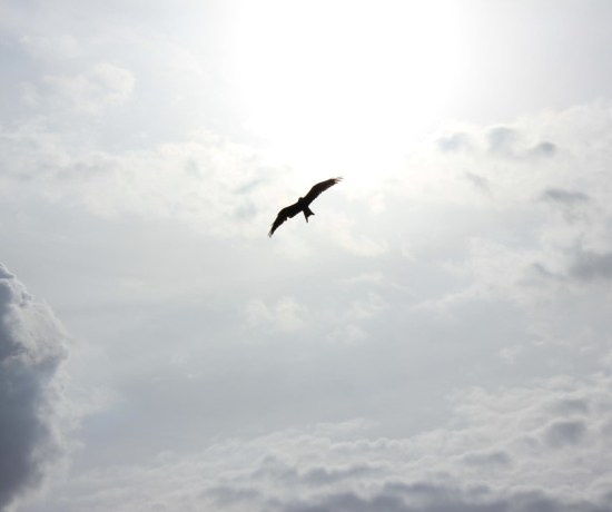 bird soaring in white sky with no fear