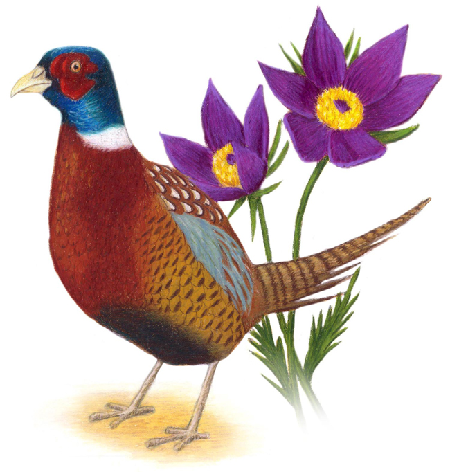 South Dakota State Bird And Flower Ring Necked Pheasant Phasianus Colchicus Pasqueflower Anemone Patens