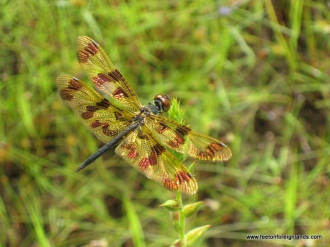 Dragonfly in Kakadu