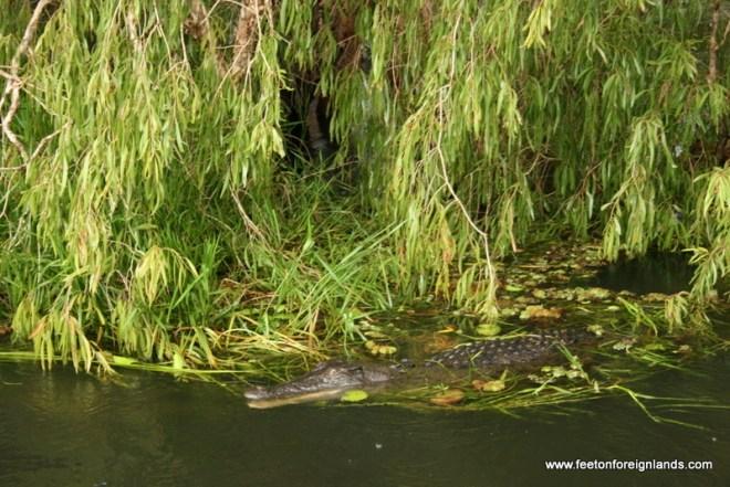 Yellow Water Cruise crocodile