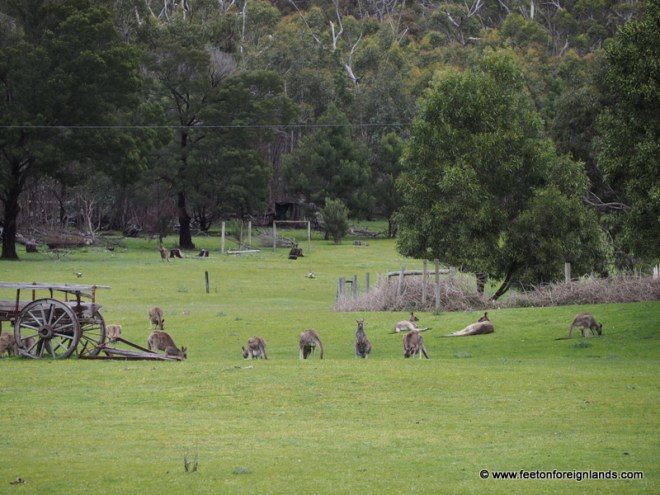 kangaroos in Melbourne: www.feetonforeignlands.com