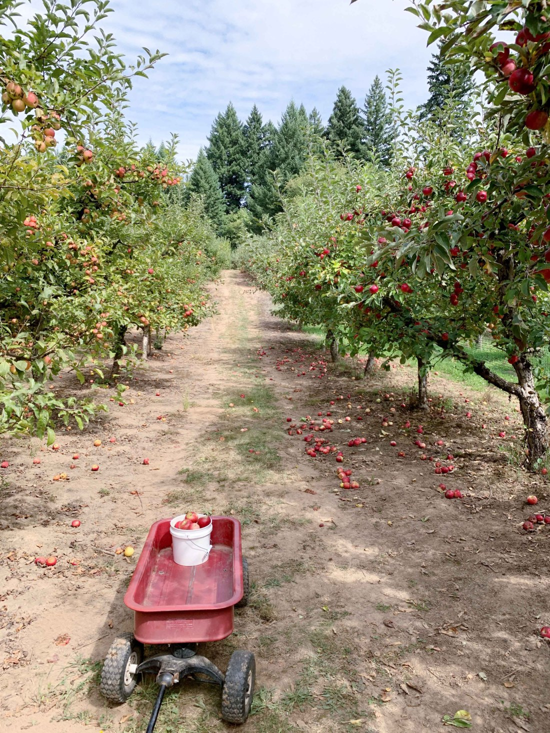 apple orchard in September