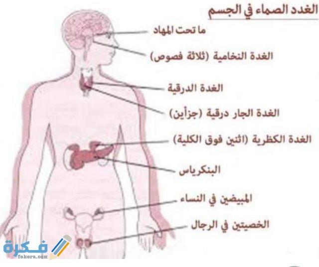 اين توجد الغدد في جسم الانسان