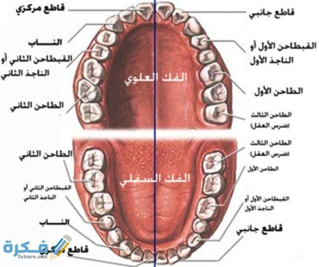 كم عدد اسنان الانسان البالغ موقع فكرة