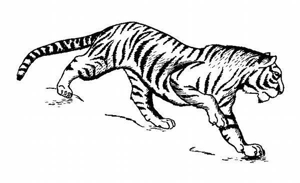Tiger Line Drawings For Coloring