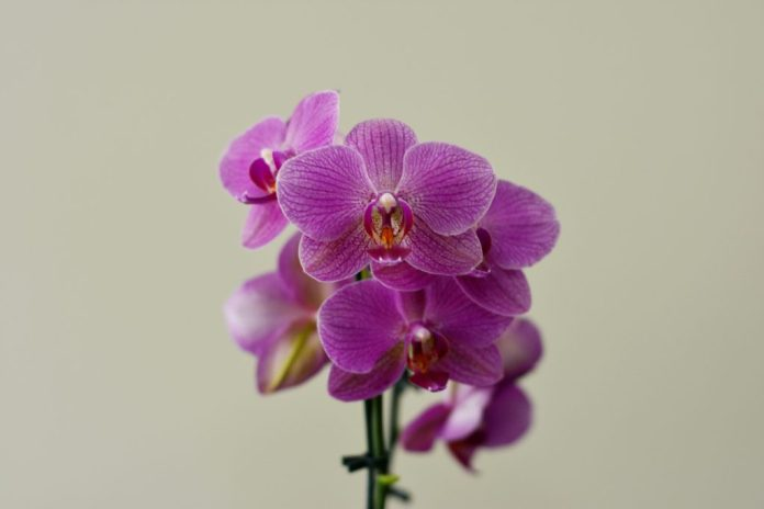 Orquídeas – um cultivo de amor