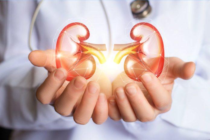 Os rins e sua importância para o nosso corpo
