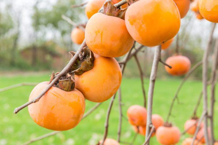 Caqui: Fruta de inverno – 6 benefícios para o organismo