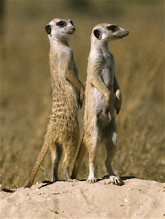 meerkats information photo facts pictures