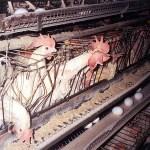 Nestlè: passo avanti sul benessere animale?