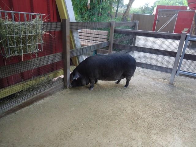 Cerdo en el zoo de Miami