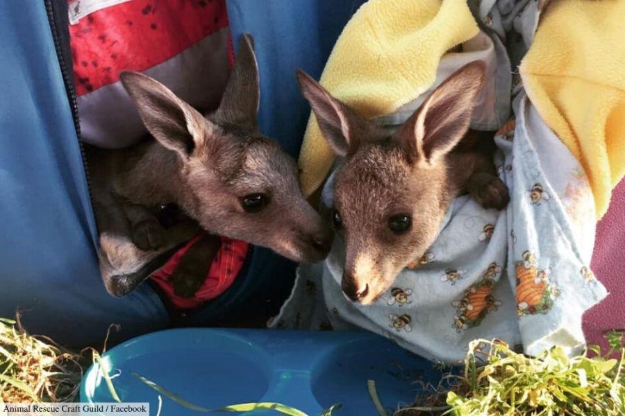 australia bushfires kangaroos