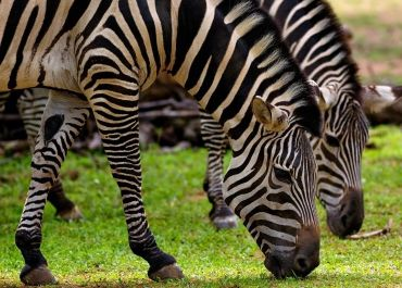 maryland zebras