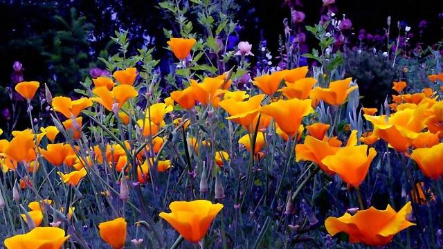 flowers_bright_orange_garden_herbs_evening_garden