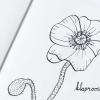 31 Dagen bloemen | Klaproos